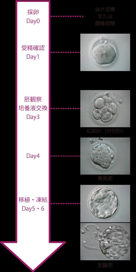 確率 胚 盤 胞